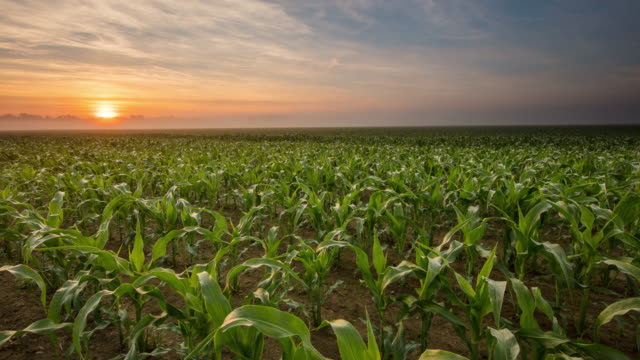 T/L 8K shot of a sunrise over young corn plants