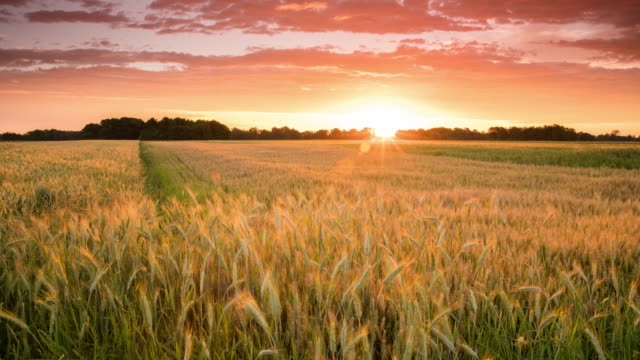 T/L 8K shot of a sunset cloudscape over wheat field