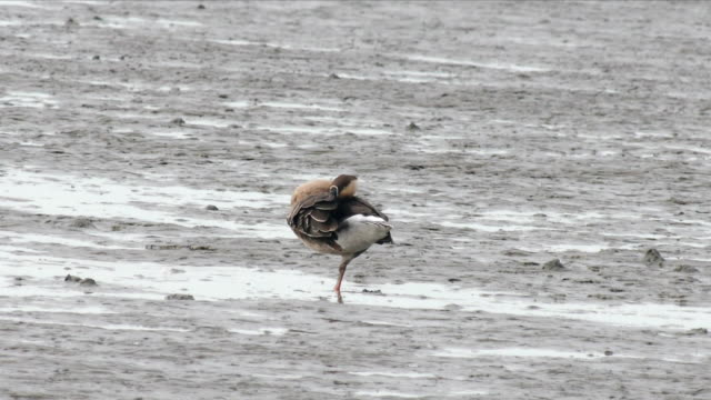 Shot of a Swan Goose resting on mud flat