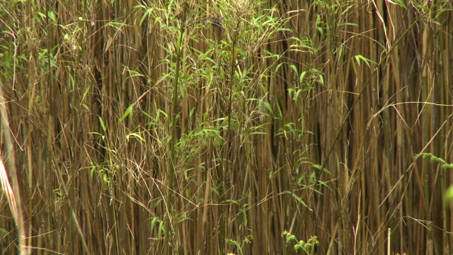 shot of a thicket of bamboo - perennial stock videos & royalty-free footage
