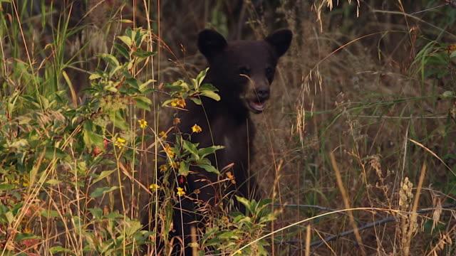 TS  shot of a tiny black bear cub (Ursus americanus) standing in the tall grass
