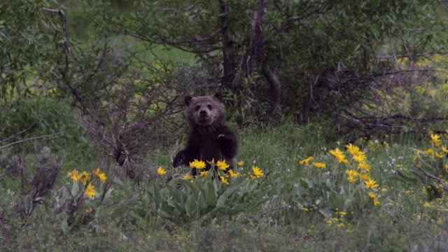 vidéos et rushes de ms/ts  4k shot of a tiny grizzly bear cub (ursus arctos) dancing in the wildflowers - dancing bear