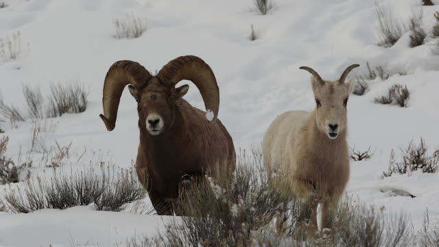 ms  shot of a trophy bighorn sheep ram (ovis canadensis) chasing a rare blonde ewe during the rut - horned stock videos & royalty-free footage