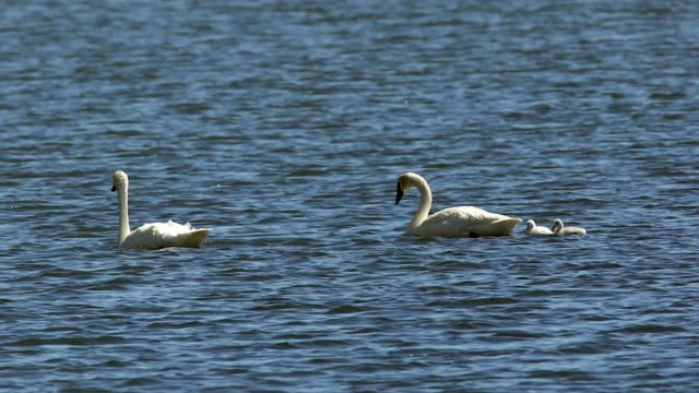 MS  shot of a trumpeter swan family (Cygnus buccinator) displaying their new baby cygnets