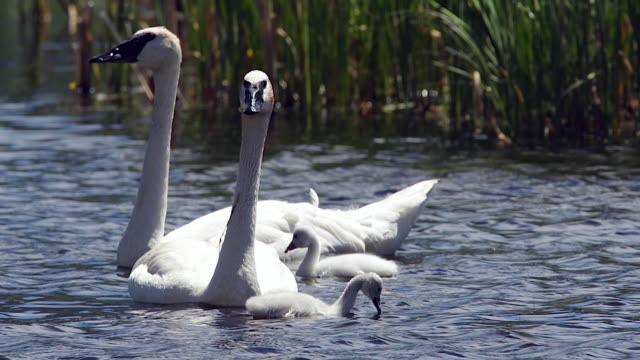stockvideo's en b-roll-footage met ts/ms  shot of a trumpeter swan family with new cygnets out for a swim - jonge zwaan