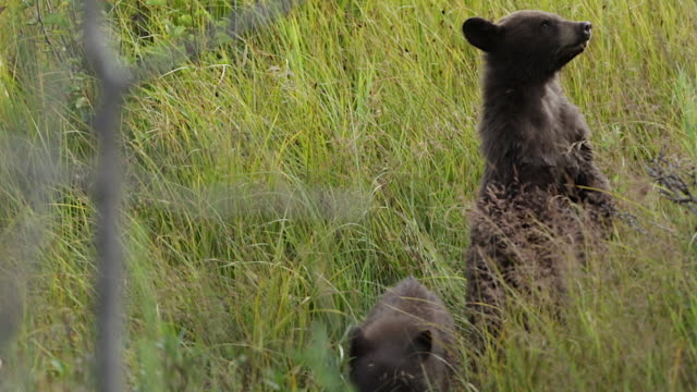 MS shot of a two black bear cubs (Ursus americanus) playing in the tall grass