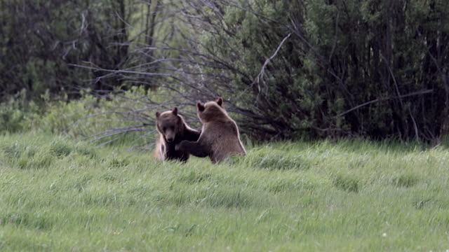 MS  shot of a two grizzly bears  (Ursus arctos horribilis) wrestling/fighting in a meadow at dusk