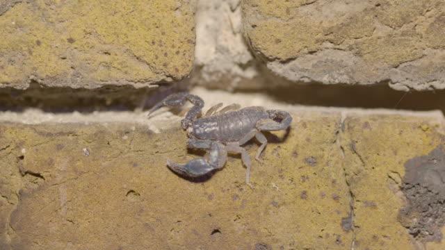 shot of a uv light illuminating a european yellow tailed scorpion (euscorpius flavicaudis) on a brick wall. - tierisches exoskelett stock-videos und b-roll-filmmaterial