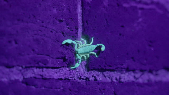 shot of a uv light illuminating a european yellow tailed scorpion (euscorpius flavicaudis) on a stone wall. - luce ultravioletta video stock e b–roll