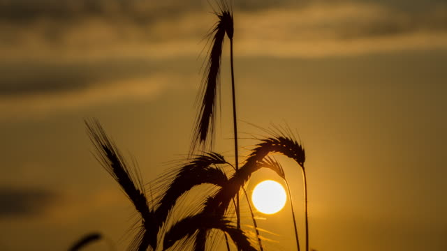 t/l 8k shot of a wheat ear at sunrise - ear of wheat stock videos and b-roll footage