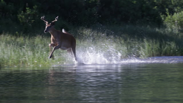 vídeos de stock e filmes b-roll de ms 4k shot of a white-tailed deer (odocoileus virginianus) backlit running through the water - veado