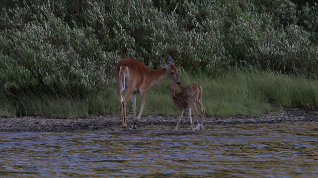 stockvideo's en b-roll-footage met ms 4k shot of a white-tailed deer (odocoileus virginianus) with fawn, playing in the water - reekalf