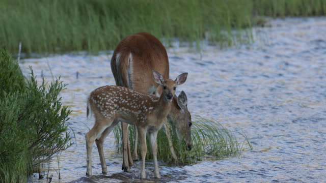 ms 4k shot of a white-tailed deer (odocoileus virginianus) with fawn, playing in the water - glacier national park us stock videos and b-roll footage