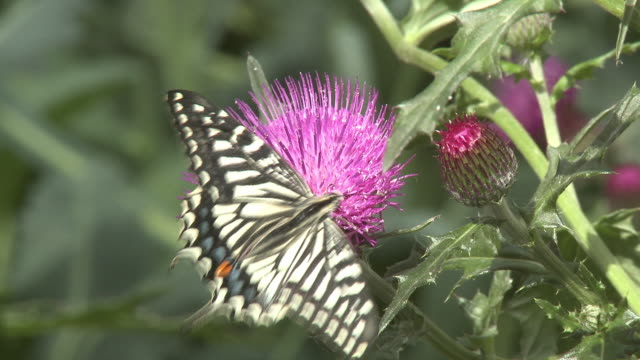 Shot of a yellow swallowtail butterfly on the pink flower