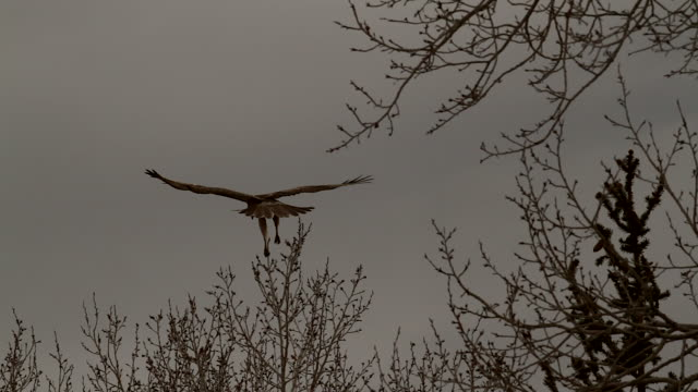 ms shot of a young eagle balancing on a tree top in a strong wind - auf einem bein stock-videos und b-roll-filmmaterial