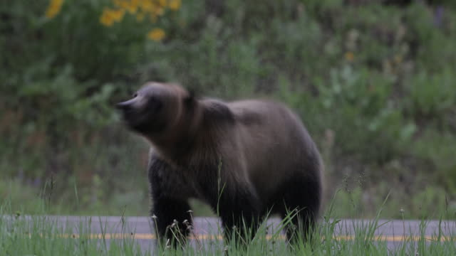 ms  4k shot of a young grizzly (ursus arctos) shaking off the morning dew along the side of the road - wyoming stock videos & royalty-free footage
