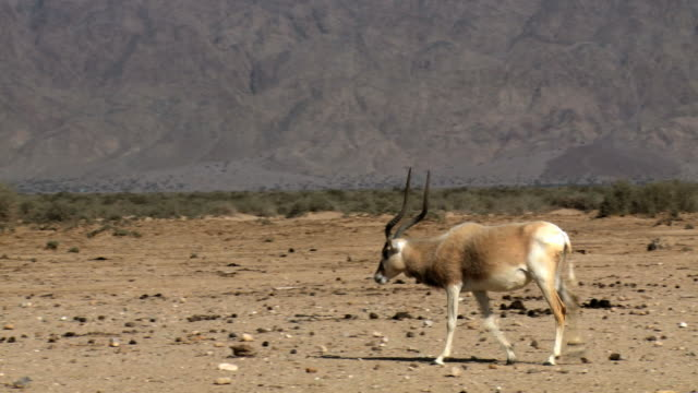 https://media.gettyimages.com/videos/shot-of-addax-in-haibar-reintroduction-center-yotvata-arava-negev-video-id173178889?s=640x640