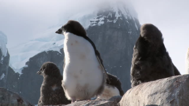 ms shot of adelie penguin (pygoscelis adeliae) small group of adolescent chicks standing on rock, down feathers moving in wind and mountains in back side / antarctica - medium group of animals stock videos & royalty-free footage