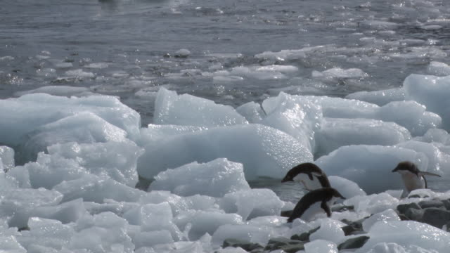 ws pan shot of adelie penguin (pygoscelis adeliae) two adults and one chick hopping over moving ice blocks, stumbling and falling into water / antarctica - falling water stock videos & royalty-free footage