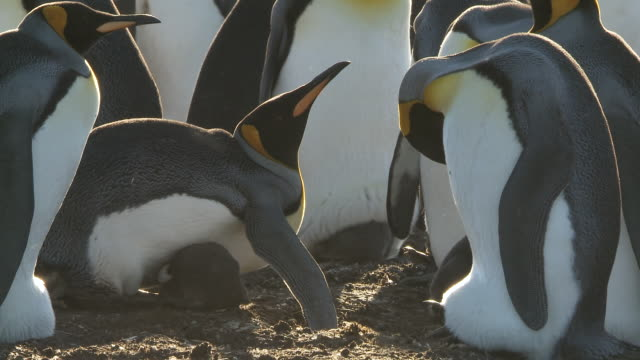 ms shot of adult king penguins aptenodytes patagonicus protecting chick / volunteer point, falkland islands - royal penguin stock videos & royalty-free footage