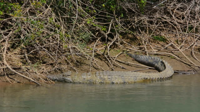 MS PAN Shot of African crocodile relaxing on river shore border / Kunene River, Namibia, South Africa
