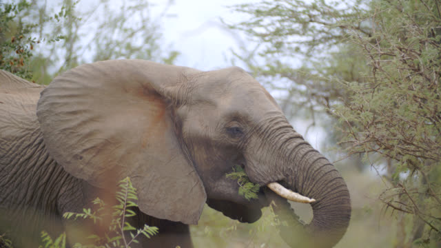 CU Shot of African elephant (Loxodonta africana) eating / Kruger National Park, Mpumalanga, South Africa