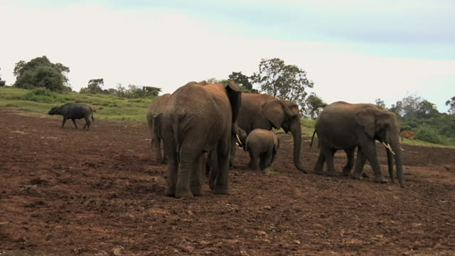 ms pan shot of african elephant (loxodonta) family eating salt from muddy ground / abarder, kenya - cattle点の映像素材/bロール