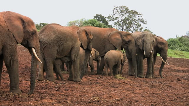 ms shot of african elephant (loxodonta) family on abarder mountain walking near water / abarder, kenya - 哺乳類点の映像素材/bロール