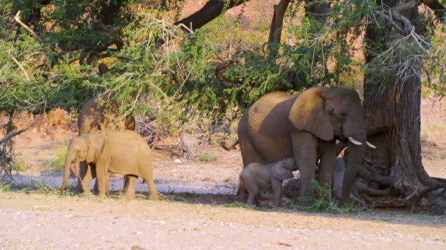 ms shot of african elephant family relaxing near big tree / etosha national park, namibia - family tree stock videos and b-roll footage