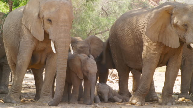 ms shot of african elephant family standing in shadow / etosha national park, namibia  - medium group of animals stock videos & royalty-free footage