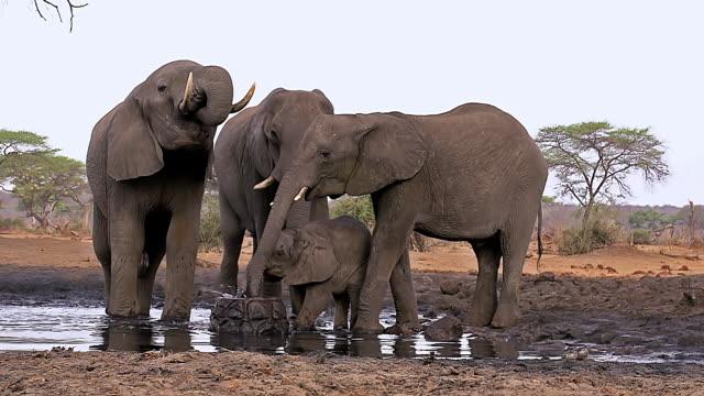 MS Shot of African Elephant (loxodonta africana) Group drinking at waterhole near Chobe River / Chobe Game Reserve, Africa, Botswana