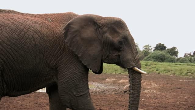 vídeos y material grabado en eventos de stock de cu ts shot of african elephant (loxodonta) on abarder mountain walking near water / abarder, kenya - grupo pequeño de animales