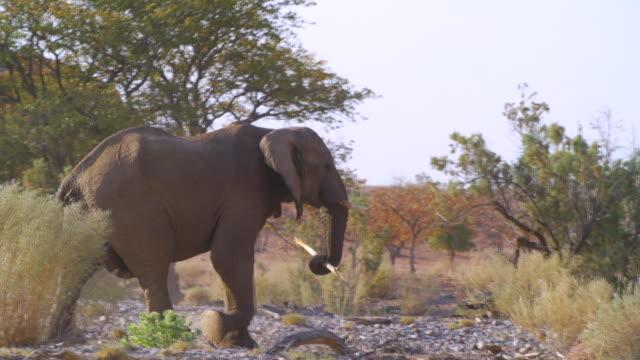 vidéos et rushes de ms pan shot of african elephant walking in savannah / etosha national park, namibia - carrying
