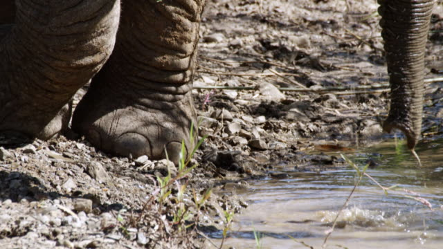 CU TU Shot of African elephants drinking water from puddle / Thula Thula, South Africa