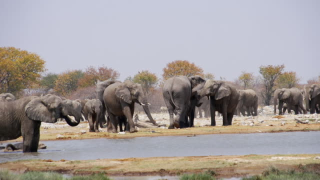 vidéos et rushes de ms pan shot of african elephants refreshing at water hole / etosha national park, namibia - troupeau