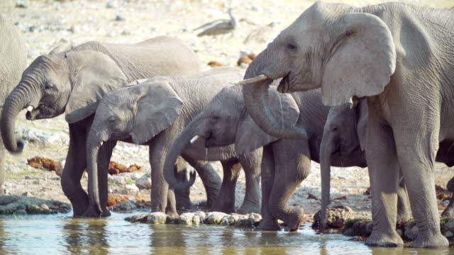 ms shot of african elephants refreshing at water hole / etosha national park, namibia - hole stock videos and b-roll footage