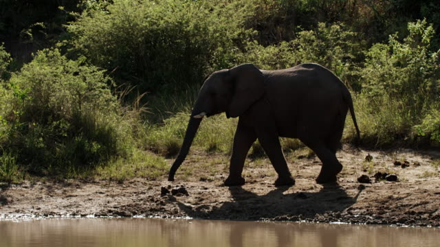 ws slo mo shot of african elephants walking near by river / thula thula, south africa - 一匹点の映像素材/bロール