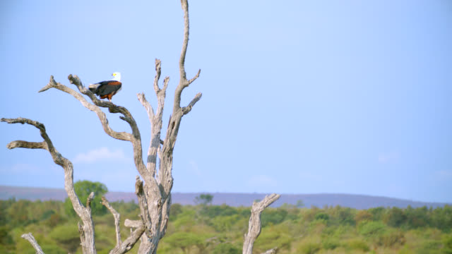 WS Shot of African fish eagle (Haliaeetus vocifer) perched on branch / Kruger National Park, Mpumalanga, South Africa