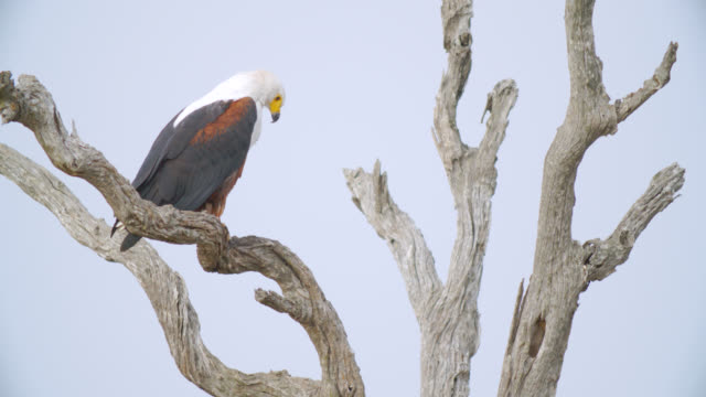 stockvideo's en b-roll-footage met ms shot of african fish eagle (haliaeetus vocifer) perched on branch / kruger national park, mpumalanga, south africa - african fish eagle