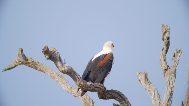 MS Shot of African fish eagle (Haliaeetus vocifer) perched on branch / Kruger National Park, Mpumalanga, South Africa