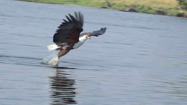vídeos de stock e filmes b-roll de cu ts slo mo shot of african fish-eagle (haliaeetus vocifer) adult in flight with fish in its claws in chobe river / chobe game reserve, africa, botswana - asa de animal