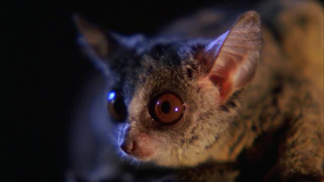 vídeos de stock, filmes e b-roll de cu shot of african marsupial mouse / unspecified  - marsupial