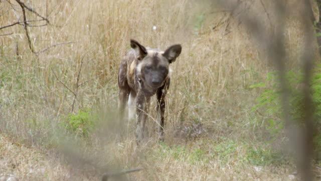MS TS Shot of African Wild Dog prancing / Hluhluwe Imfolozi, South Africa