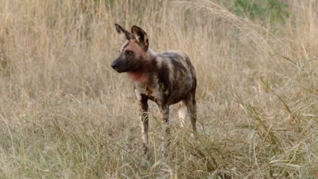 ms pan shot of african wild dog stands, then turns away and walks out / hluhluwe imfolozi, south africa - hluhluwe stock videos and b-roll footage