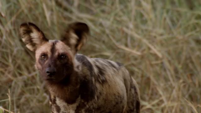 cu shot of african wild dog walking, searching for food rolling on floor carries animal leg / hluhluwe imfolozi, south africa - kwazulu natal stock videos & royalty-free footage