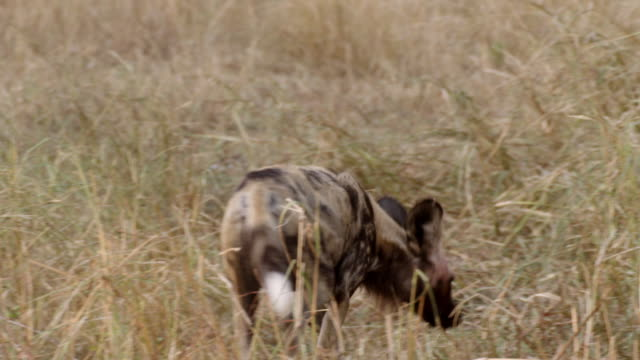 MS TS Shot of African Wild Dog walking, searching for food Rolling on floor Carries animal leg / Hluhluwe Imfolozi, South Africa