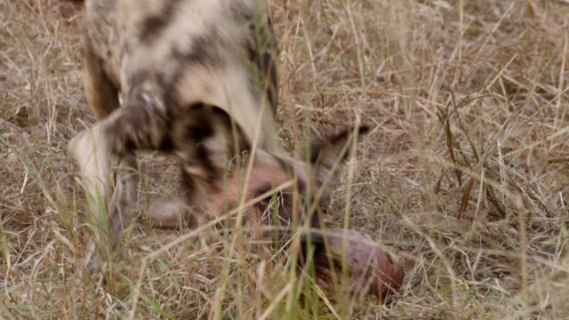 cu ts shot of african wild dog walking, searching for food rolling on floor carries animal leg / hluhluwe imfolozi, south africa - hluhluwe stock videos and b-roll footage