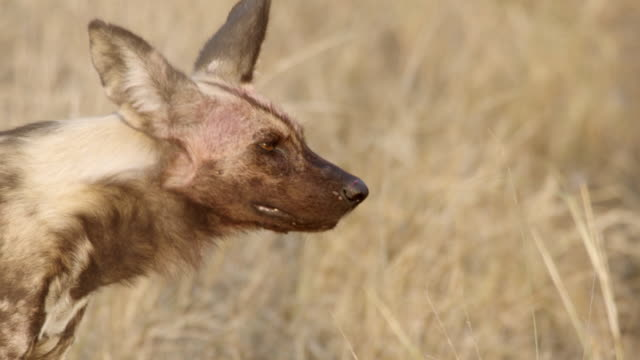 CU TS Shot of African Wild Dog walking, surveying area / Hluhluwe Imfolozi, South Africa