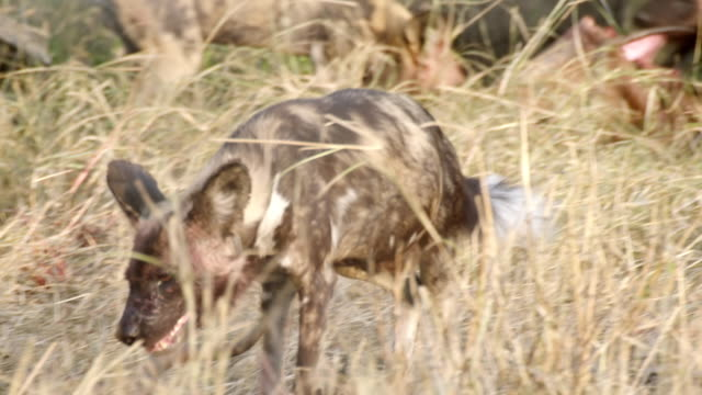 ms ts shot of african wild dogs eating antelope carcass and walks away / hluhluwe imfolozi, south africa - hluhluwe stock videos and b-roll footage