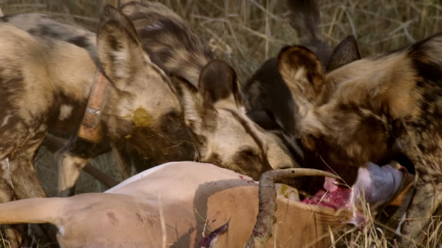 CU TS Shot of African Wild Dogs eating antelope carcass / Hluhluwe Imfolozi, South Africa